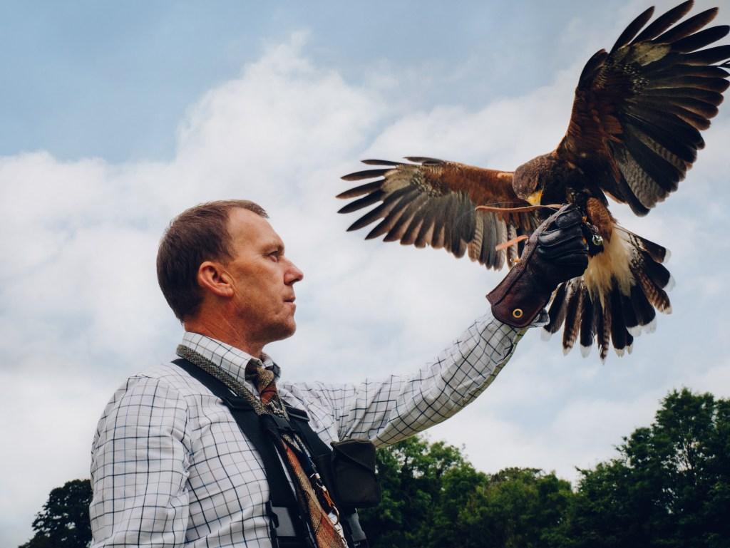 Experienced falconer holding a Harris hawk at the falconry experience at the Lyrath hotel in Kilkenny Ireland