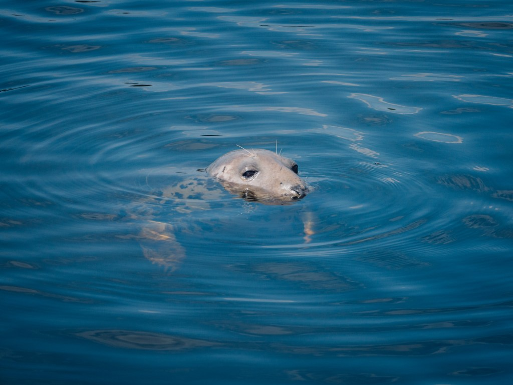 Seal in Galway Harbour