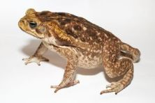 1200px-Adult_Cane_toad300