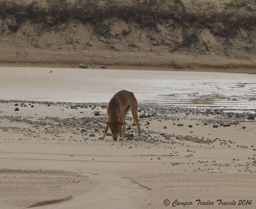 Fraser Island Dingo Safety