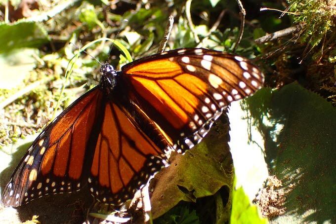 アンガンゲオの幻の蝶に会いに行く(メキシコ)15