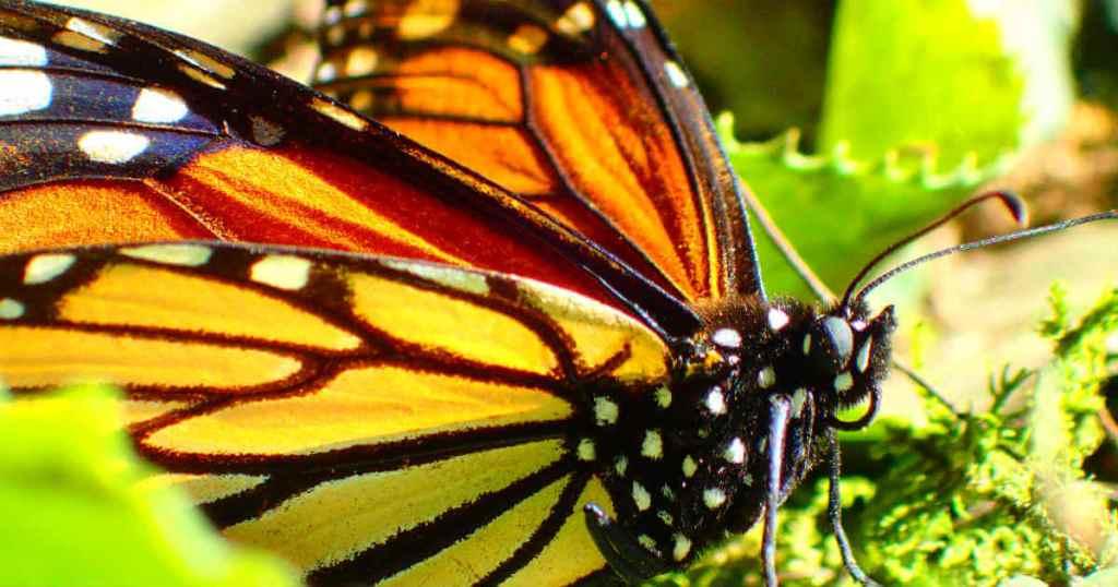 メキシコの蝶