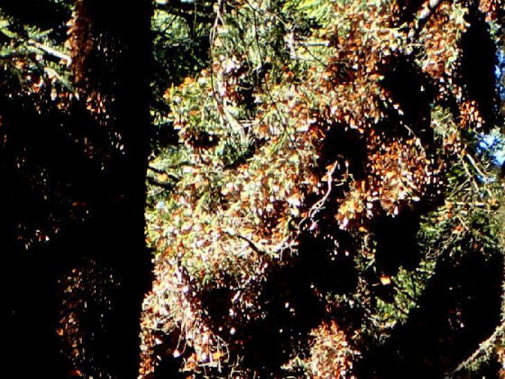 アンガンゲオのモナルカ蝶の重みでたわんだ木の枝