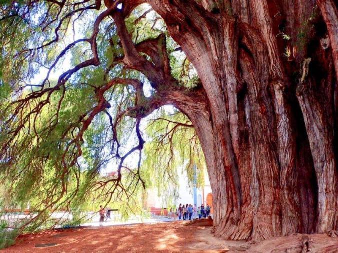 トゥーレの木(オアハカの、世界一太い木)