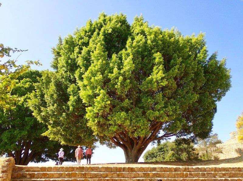 モンテアルバン遺跡の樹