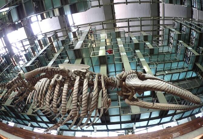 バスコンセロス図書館の鯨の模型