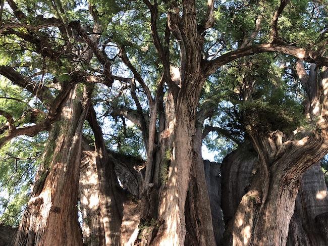 トゥーレの木2