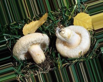 Съедобные грибы Белоруссии: фото и описание