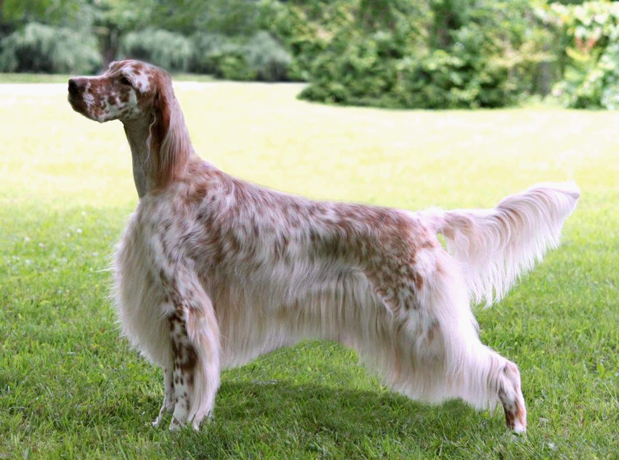 English Setter All Big Dog Breeds