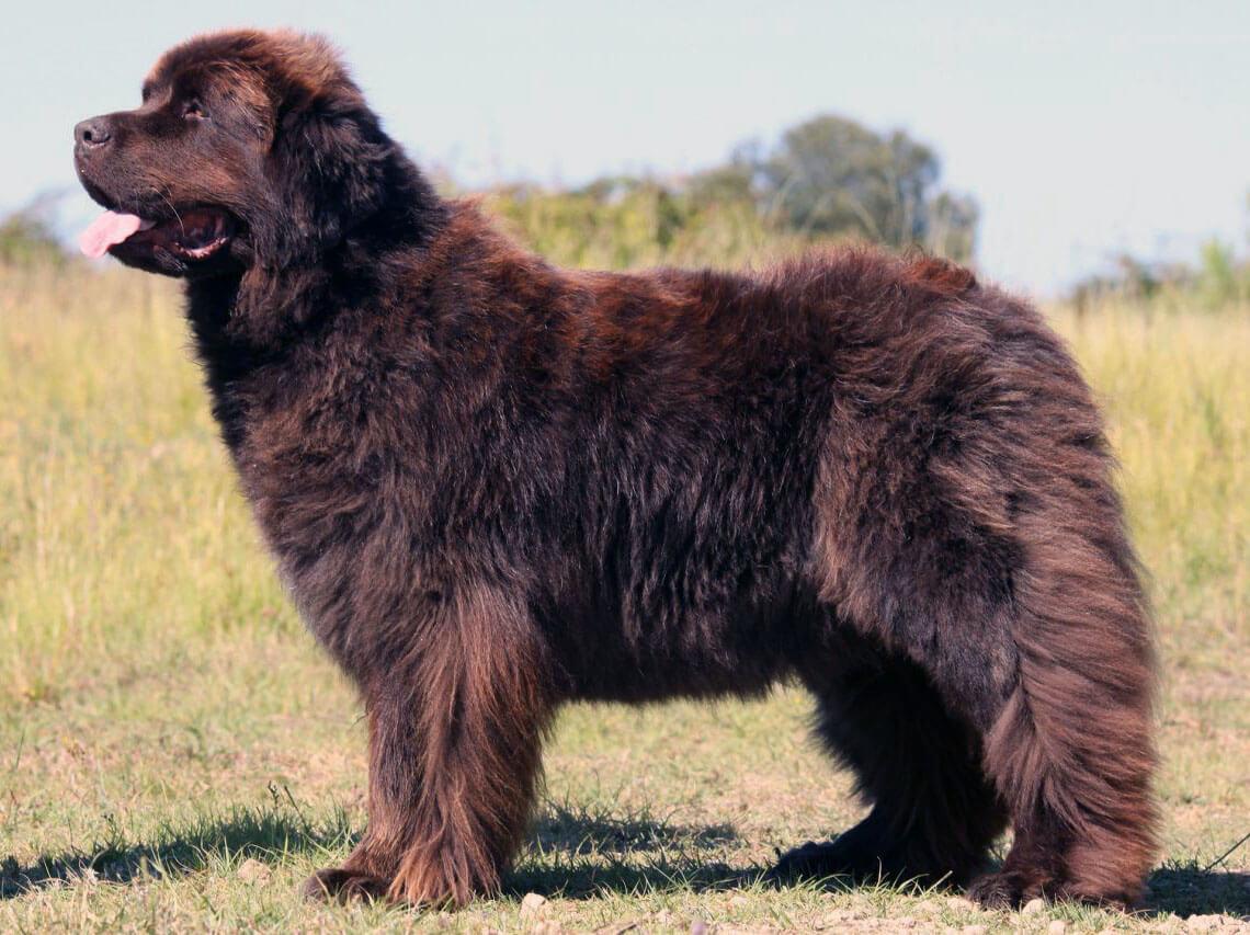 Why is a Newfoundland dog a breed I adore?