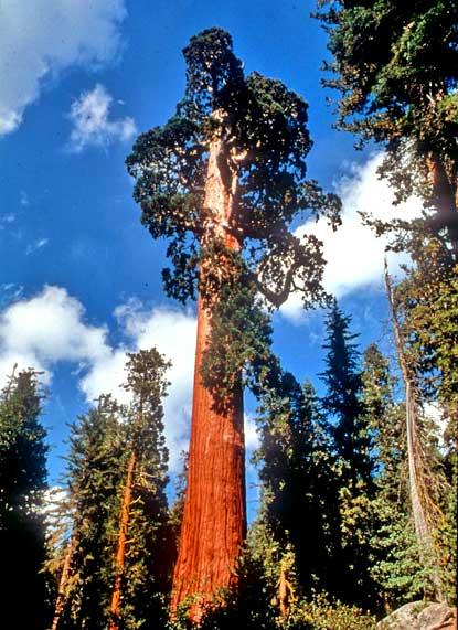 General Grant Tree Seqoia And Kings Kanyon National Park California United States Photo