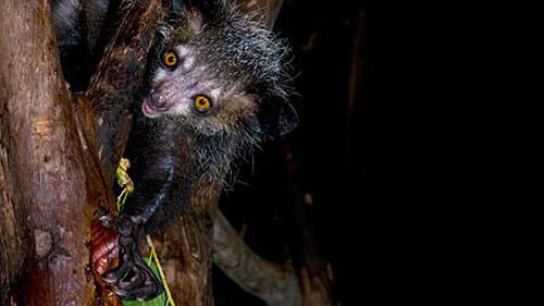 Мадагаскарская руконожка или неведома зверушка ай-ай