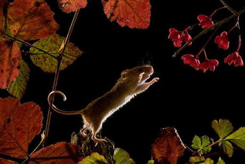 Мыши-малютки - шустрые хитрецы. Любопытная жизнь хозяев полей