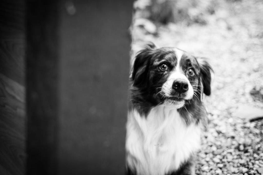 Hund, Freund des Menschen, Denkmal, Emil, Bordercollie