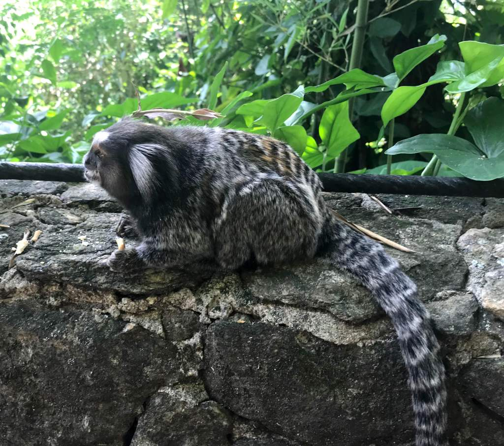 marmoset aap Rio de Janeiro