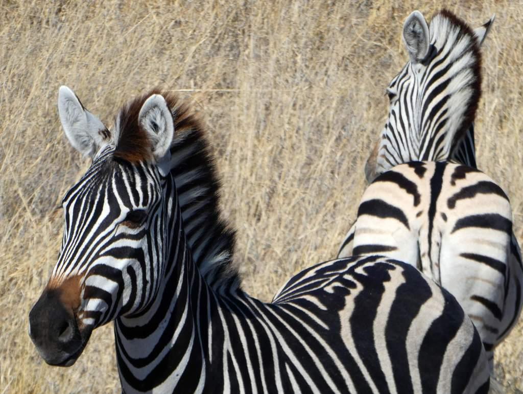 Zebra's in Botswana