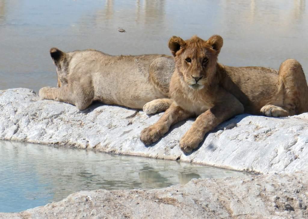 Jonge leeuwen in Etosha