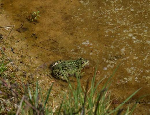 Frosch am Teichrand