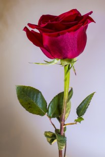 a-rose-by-any-other-name
