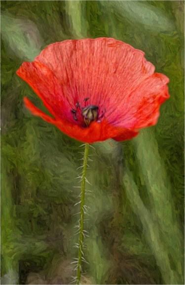 poppy-oil-effect