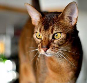48080e29cb1f Αλλεργία στη γούνα γάτας πώς να θεραπεύσει. Αλλεργίες σε γάτες σε ...