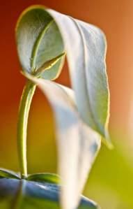 eucalyptus-oil-allergy