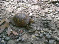 August - our turtle friend at Potato Creek State Park