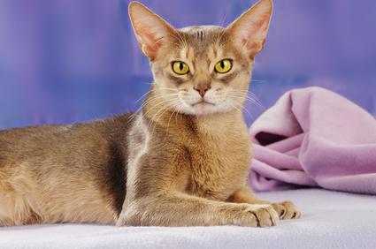 Steckbrief Abessinier - Katze