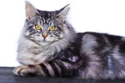 Steckbrief Maine Coon - Katze