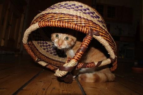Junge Hauskatze, die sich unter einem Korb versteckt