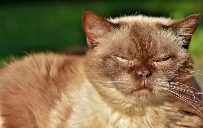 Körperbau der Britisch Kurzhaar Katze