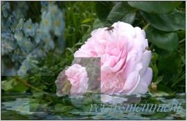 Rose Vergissmeinnicht