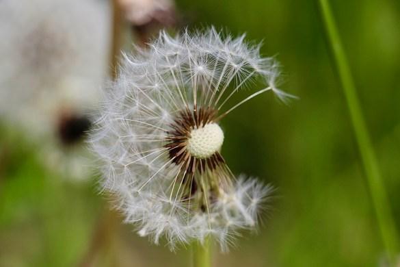 Pusteblume auf der Wiese: Vergängliche letzte Male