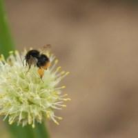 Hummel {Bumblebee}
