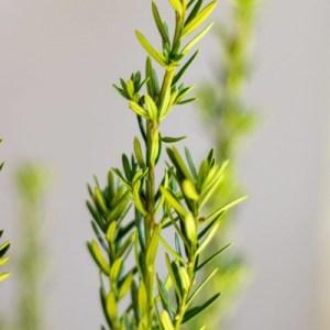Taxus Media Hillii 160-180cm