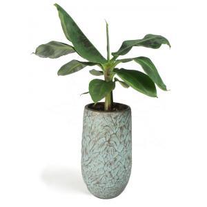 All in 1 kamerplant Bananenplant Musa dwarf cavendish XS in hoge antiq bronze bloempot