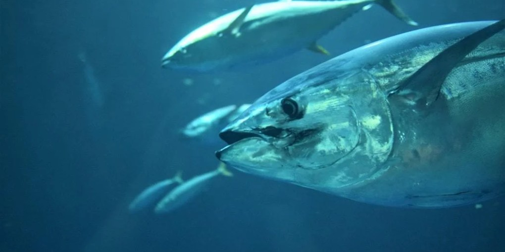 Tuna Fishing Tips