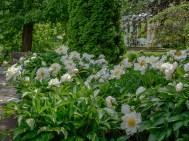 Pojengid Tartu botaanikaaias 19.06.2016