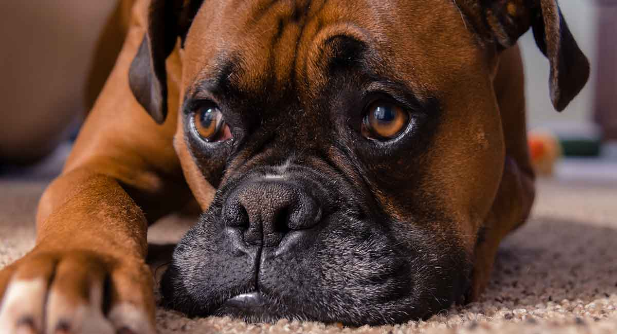 Top 5 Best Dog Foods For Boxers in 2021   Buying Guide