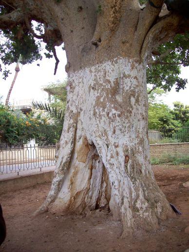 Zacchaeus tree in Jericho