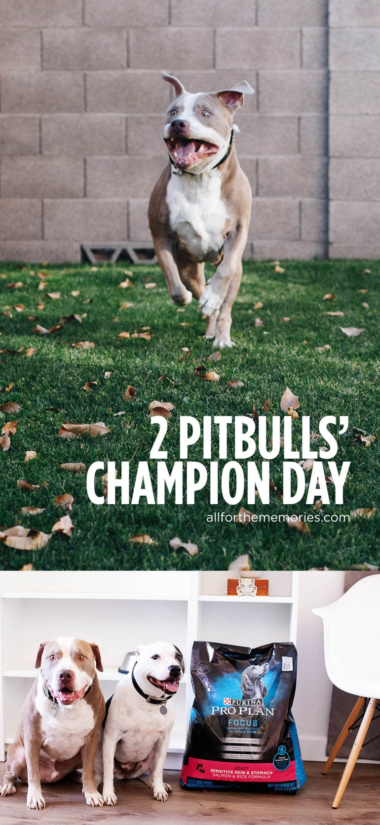 2 pitbulls' idea of a champion day