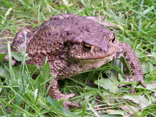 European Common Toad, Brown, green, and tan