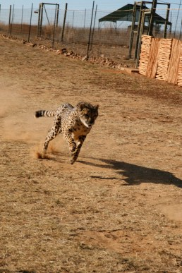 A cheetah chasing a lure at Savannah Cheetah Foundation (now Dell Cheetah Centre) in South Africa - 2008