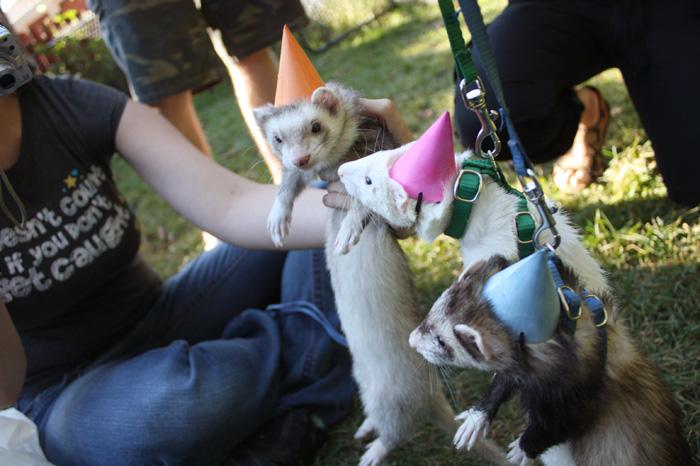 Ferret Birthday Parties
