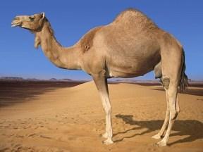camel-01