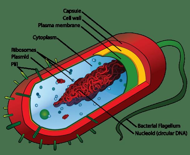 Average_prokaryote_cell-_en.svg