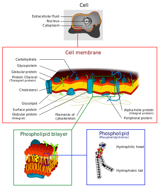 Cell_membrane_detailed_diagram_4