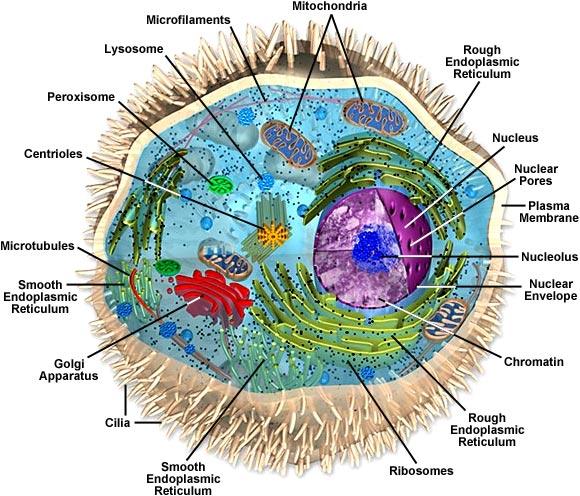 cellseukaryote