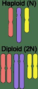 meosishaploiddiploid