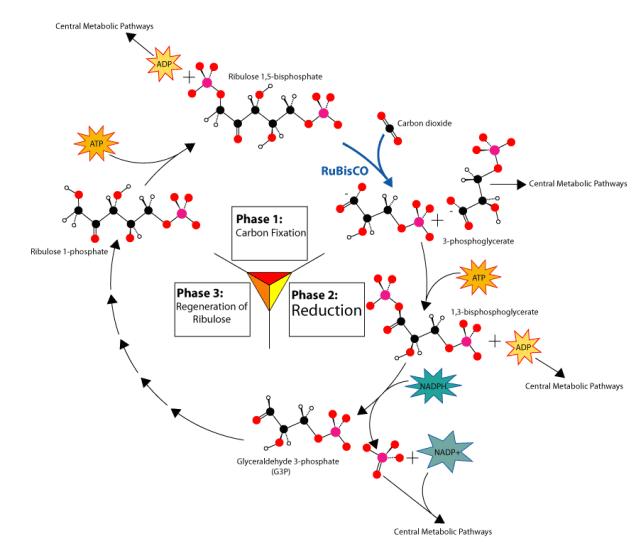 photosynthesisCalvin-cycle2